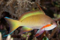 BD-140324-Apo-3600-Pseudanthias-huchtii-(Bleeker.-1857)-[Red-cheeked-fairy-basslet].jpg